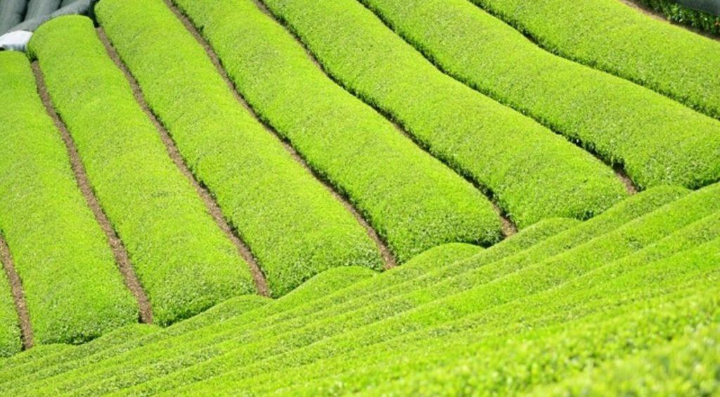 国産プーアル茶「茶流痩々」とは
