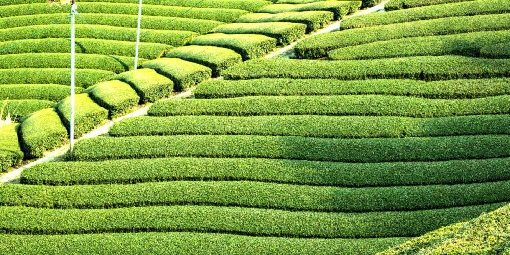 山英乳酸発酵茶の茶畑